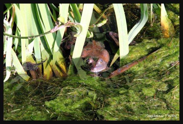 Bullfrog :)