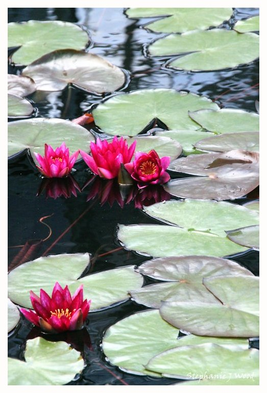 Lilly Pad Flowers