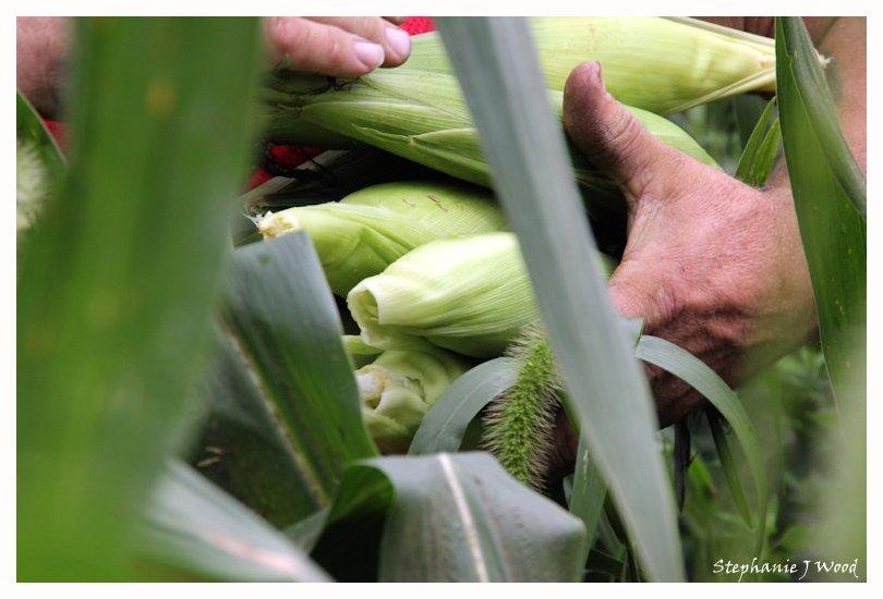 Sweet Corn, fresh picked