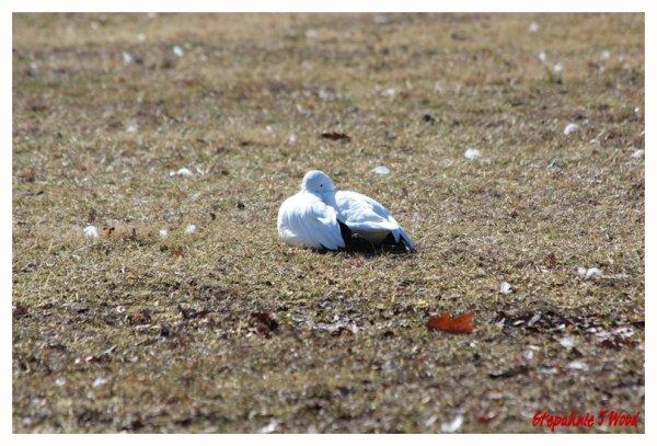 Snow Goose Nap