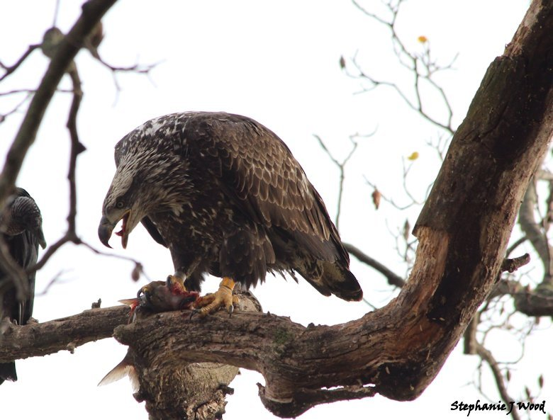 Juvenile Bald Eagle with lunch