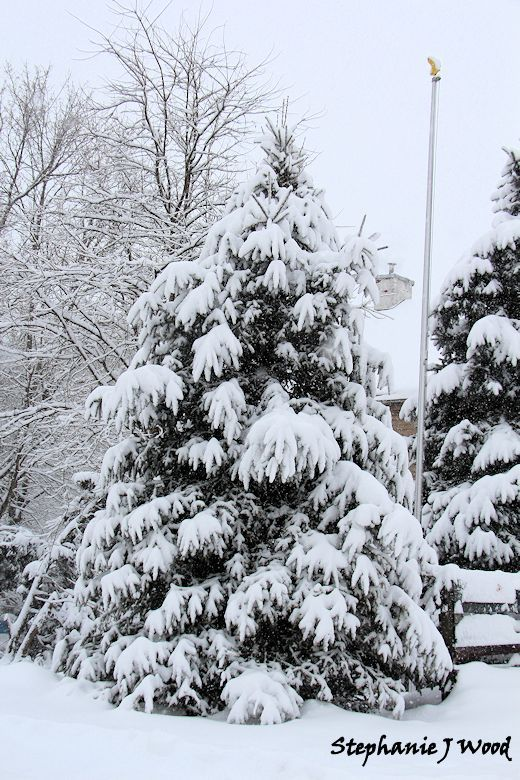 Pine covered in snow