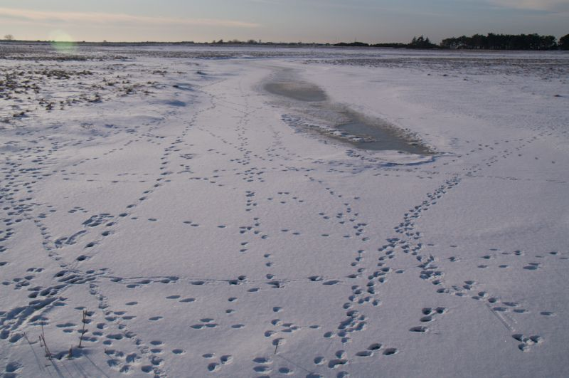 Snow on golfcourse with rabbits´ tracks