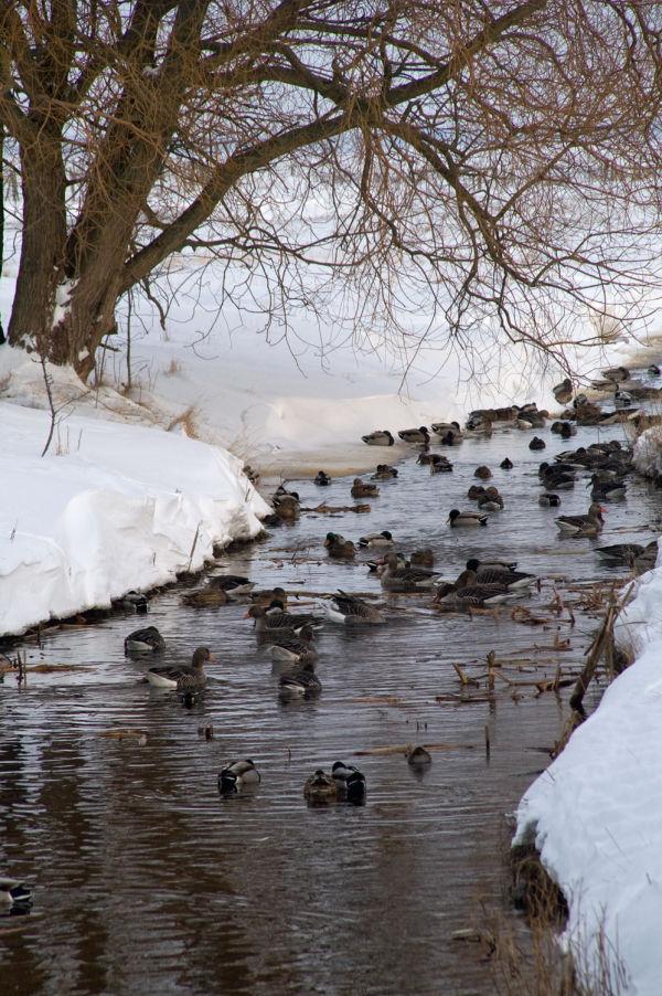 Open water in winter with birds