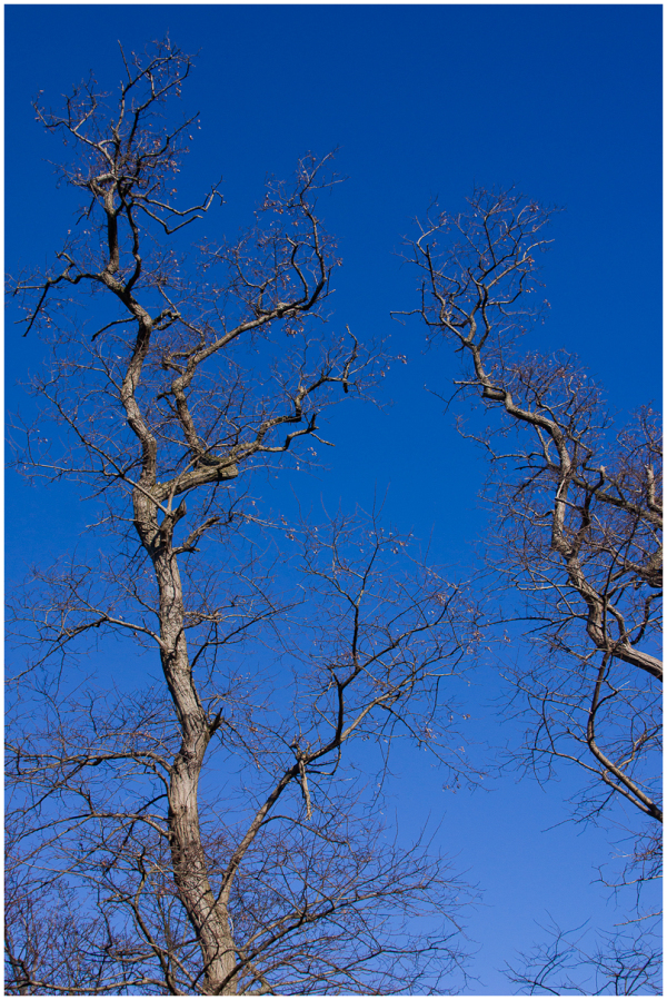 Naked trees against the blue sky