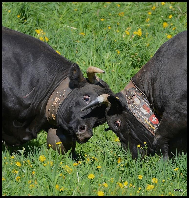 Les inalpes on commencés et vont durere tout le mois de juin. Le vaches retrouvent leurs quartier d'été et sont heureuses. Qui sera la reine du troupeau, la cheffe ? Belle journée Niocu