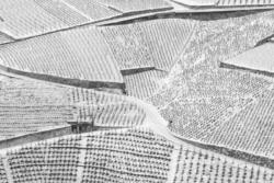 Dessin de vignes