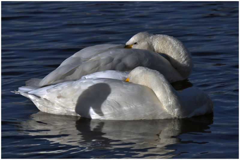 Swans rest