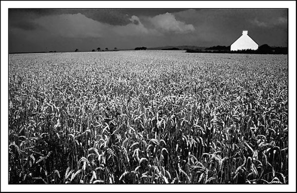 Champ de blé breton