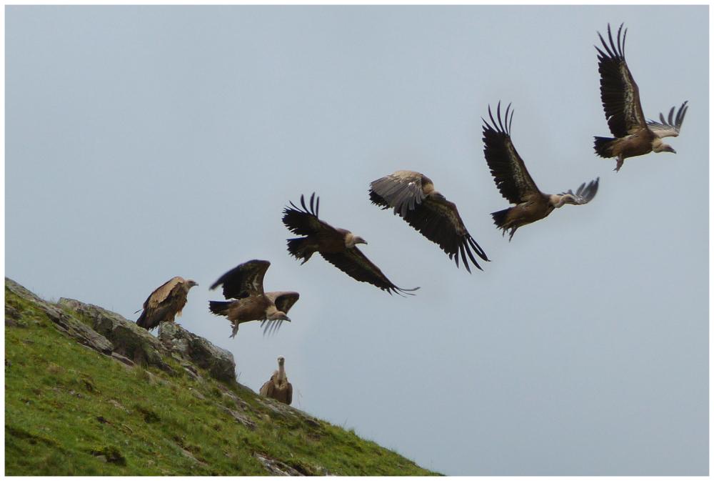 L'envol du vautour