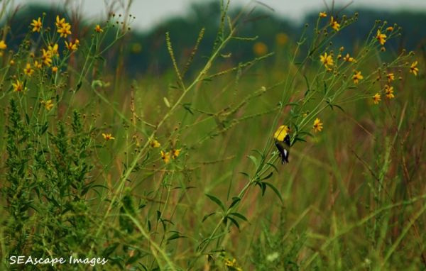 goldfinch on the prairie
