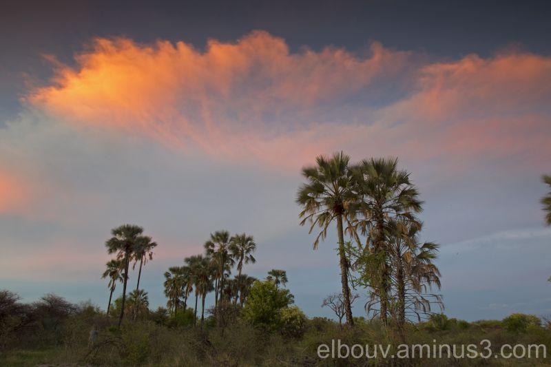 Ilala palms, Makgadikgadi pans