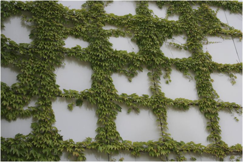 ivy squares