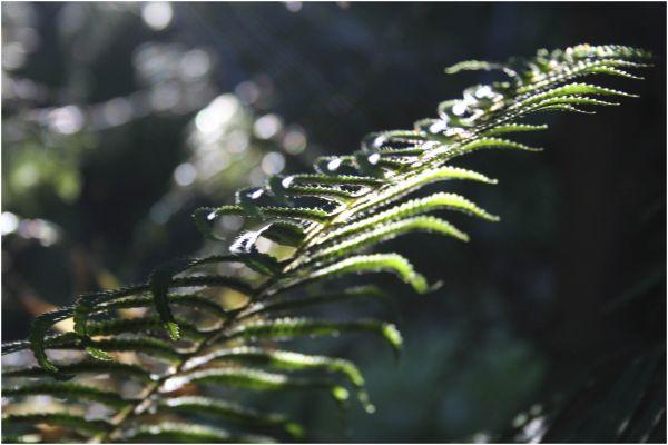 forest fern unfurls