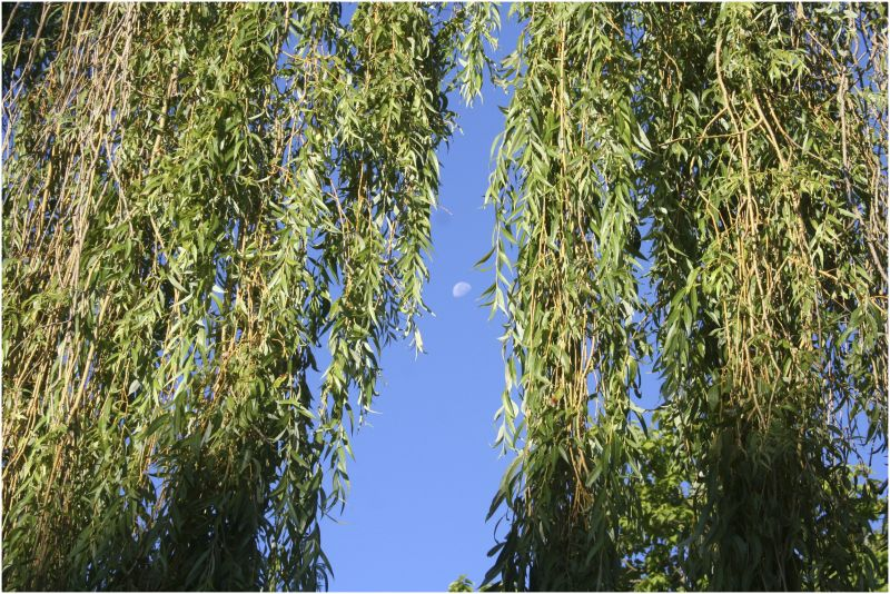 moon willow