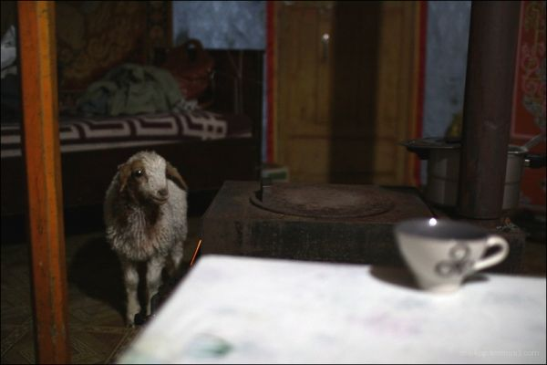 lamb inside