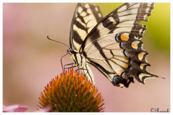 Tigertail Buttlerfly