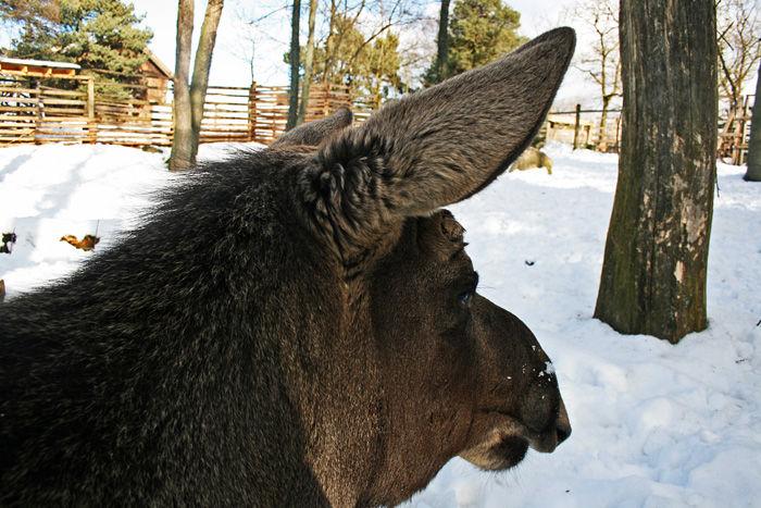 Moose Loving