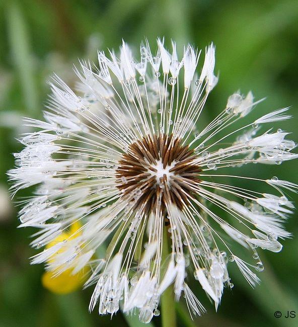 fleur de pissenlit ouverte