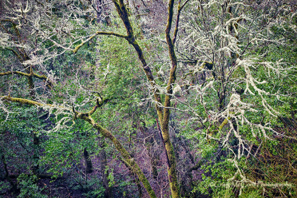 Lichen covered trees in Napa hills