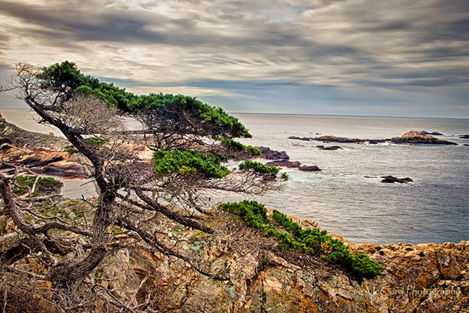 Monterey Cypress on the cliffs of Point Lobos, CA