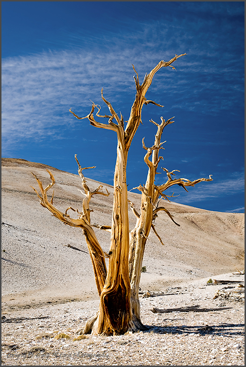 Old Bristlecone Pine at Patriarch Grove