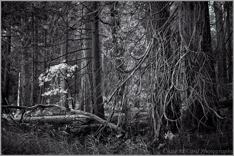 Yosemite forest in black and white