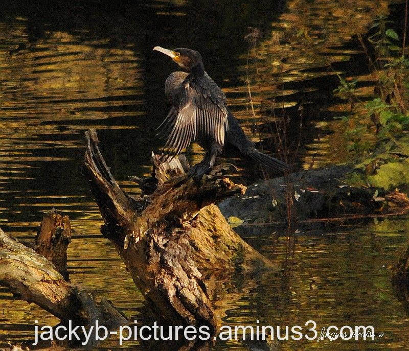 Cormoran se séchant au soleil couchant