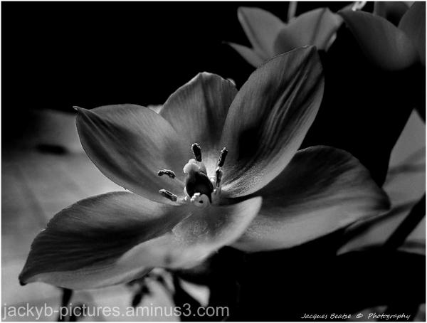 L'ornithogale - Black & White