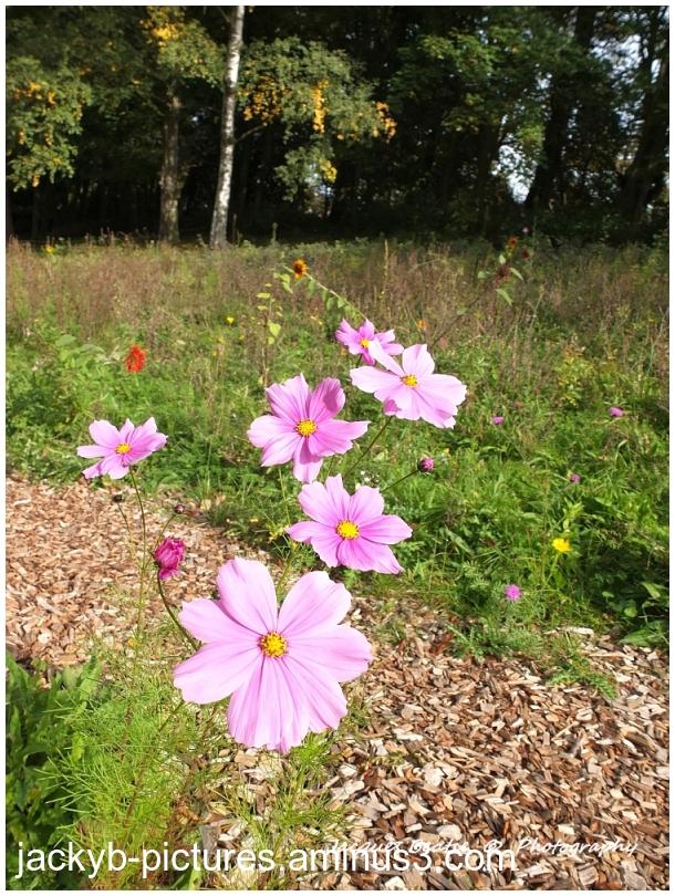 Last flowers of Autumn-Dernières fleurs d'automne
