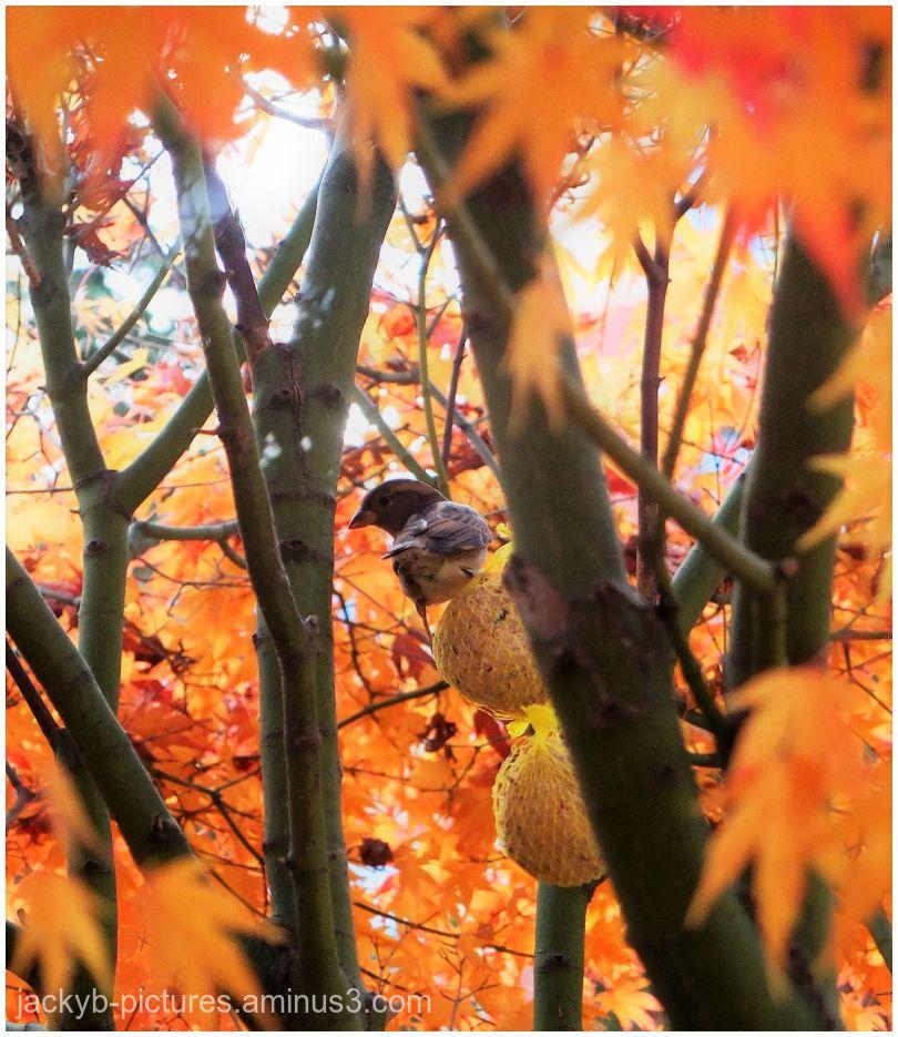 Birds in Autumn  -  Les Oiseaux  en Automne