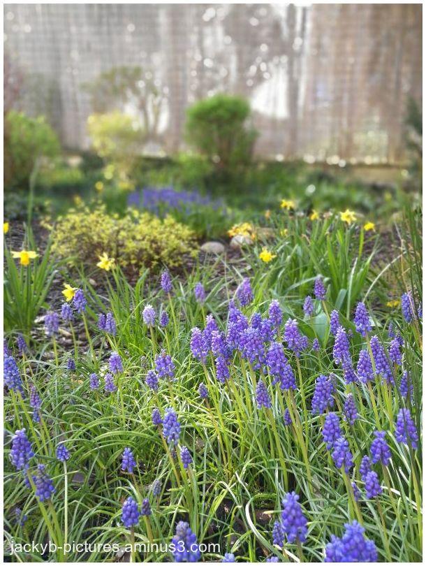 Muscaris, bleu, soleil, printemps