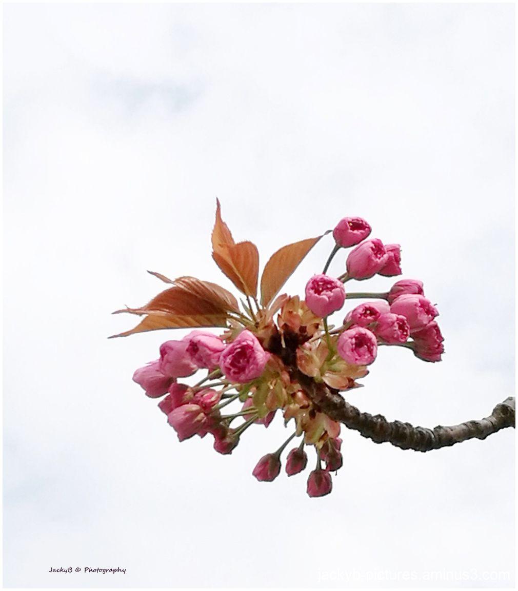 Magnifique Cerisier du Japon en fleurs