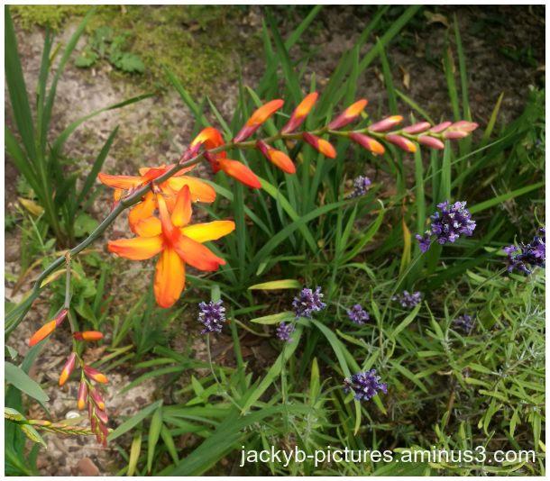 Crocosmia cygnes du jardin pollinisés par le vent