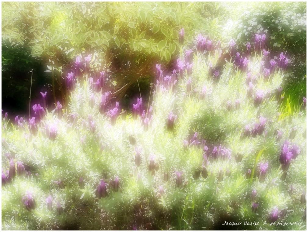 Lavendes c'est la fête des papillons !
