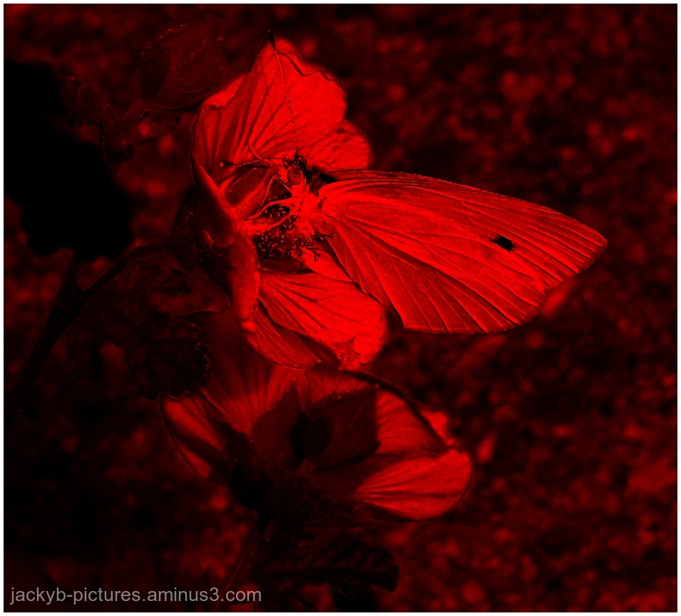 Lepidoptera - Papillons - Butterfly