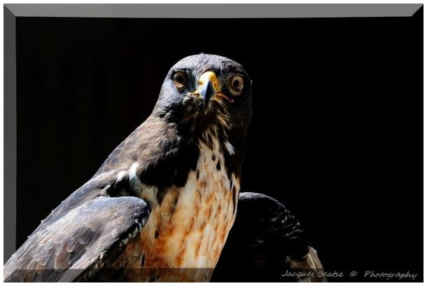 Peregrine Falcon  ♥  Faucon Pèlerin