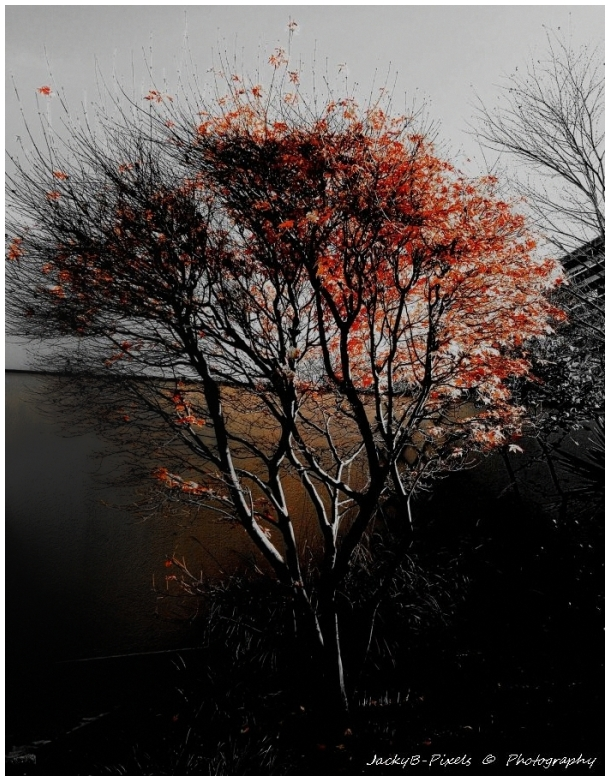 Soleil couchant ce soir sur l'érable du Japon
