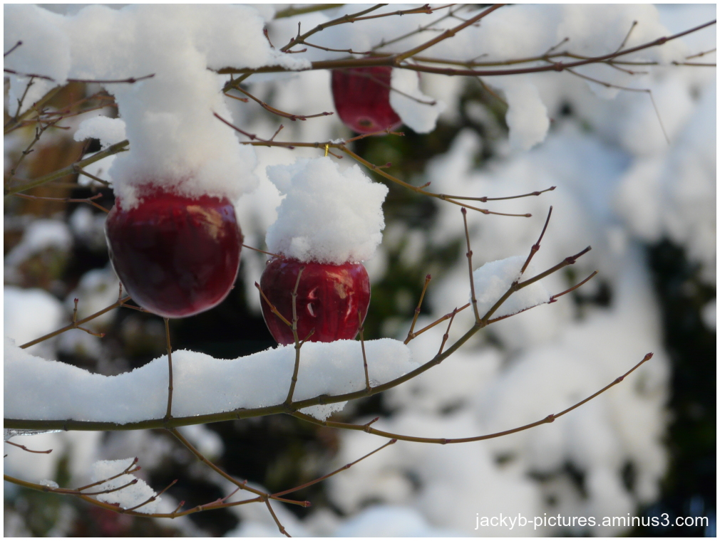 Pommes sous la neige...