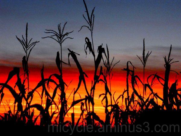 Corn Silhouette at Sunset