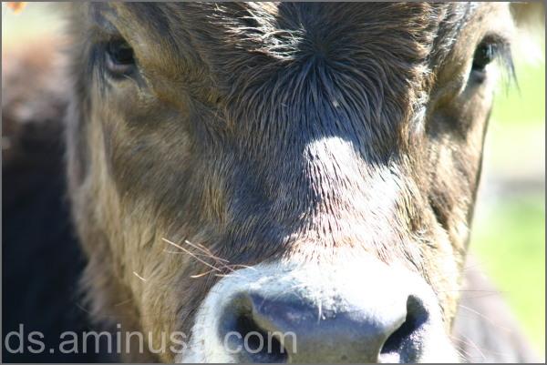 choc cow