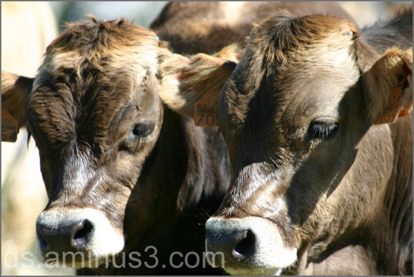 Cow brothers