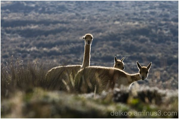 back light vicunas