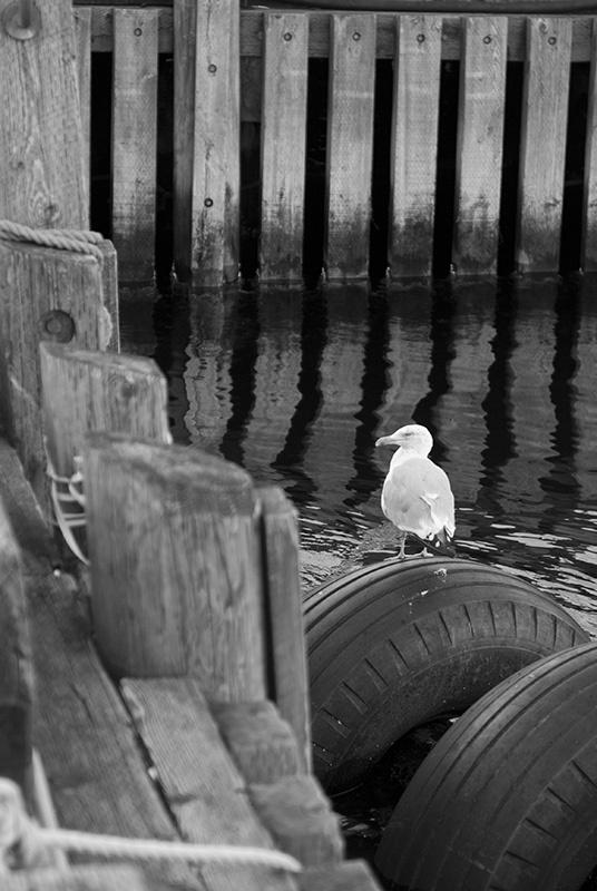 Halifax Seagull b&w