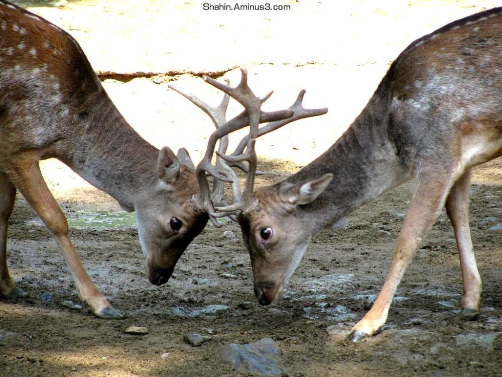 Fallo Deer