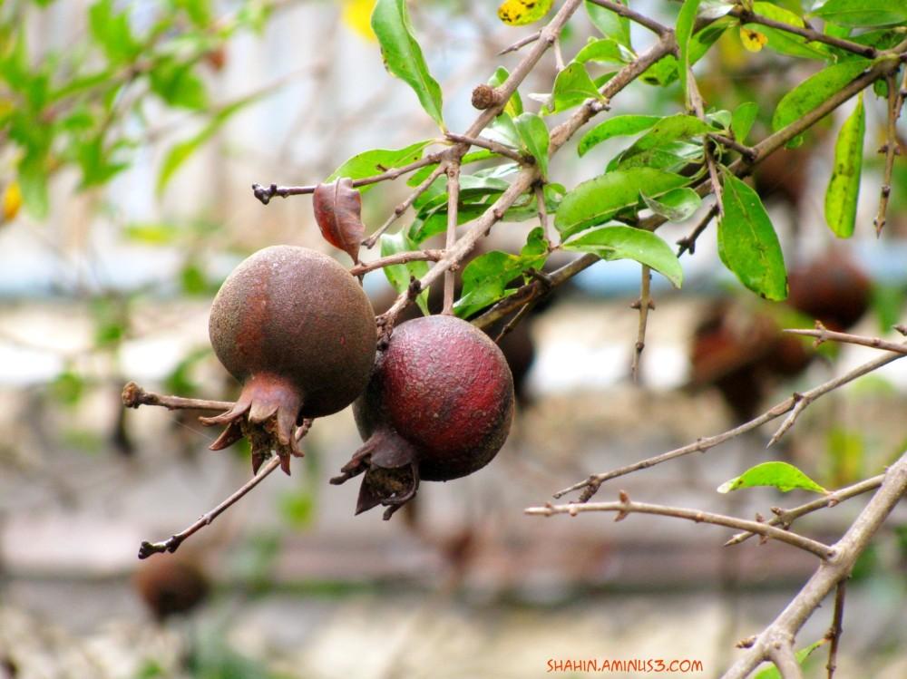Pomegranate 02