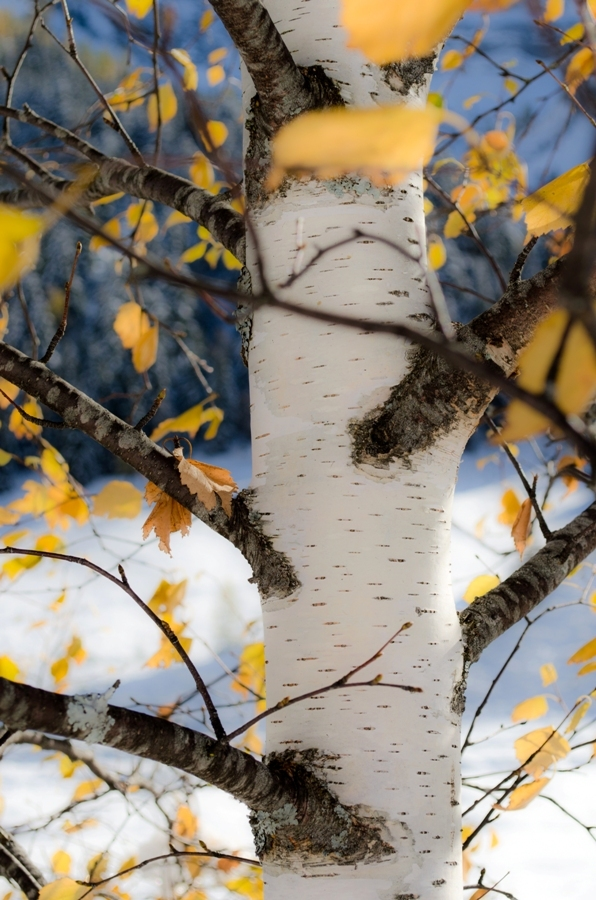 ... the birch last colors ...