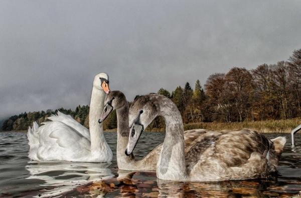 ..... swans ....