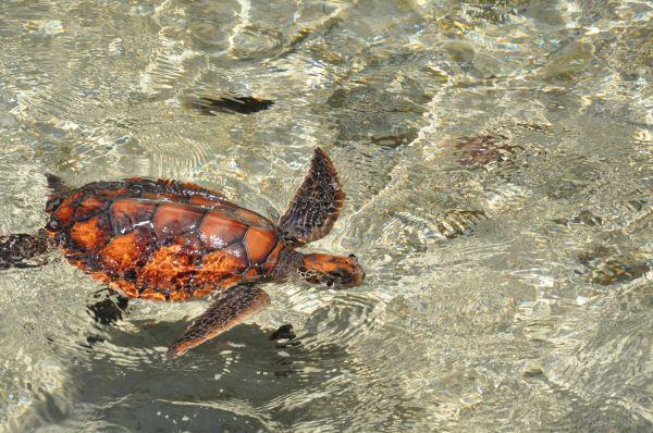 Tahitian turtle