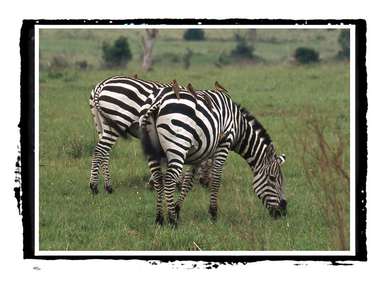 Zebras and friends